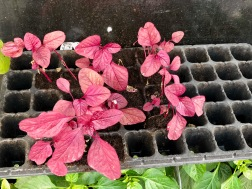 Young red spinach
